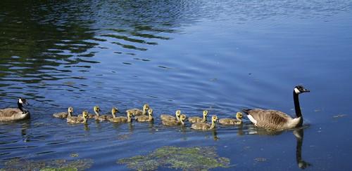 Goslings in a Row