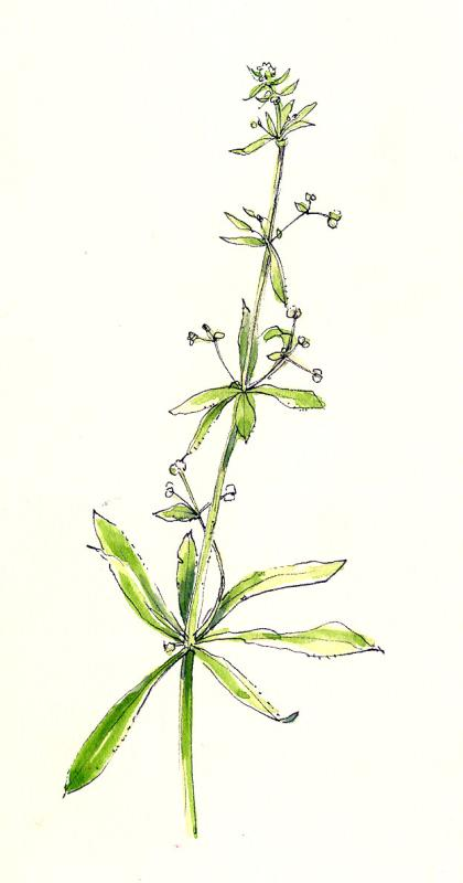 Galium, ink and watercolor