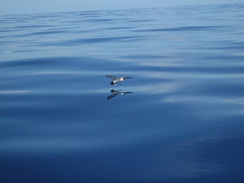 Atlantic sea bird