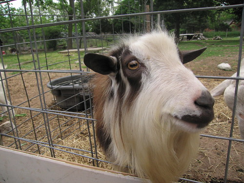 Sweet Satanic Goat