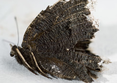 Dead mourning cloak (Lisa monster) Tags: butterfly dead mourning cloak