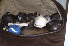 One bed, six pups (cerberus_arstd) Tags: dog chihuahua cute dogs puppy puppies chihuahuas zuzu cujo