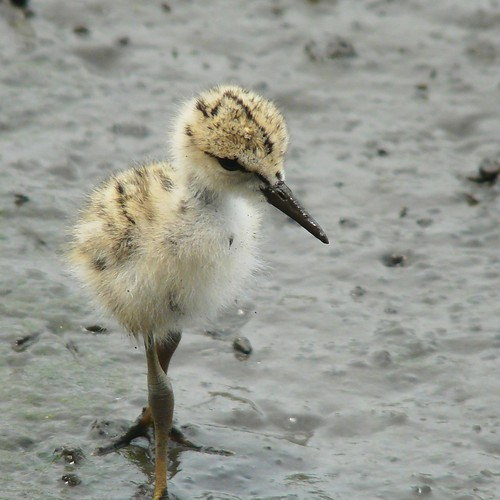 Baby of Black-winged Stilt