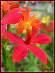 Close-up of Epidendrum cinnabarinum (Vermilion Epidendrum, Crucifix Orchid, Reed-stem Epidendrum)