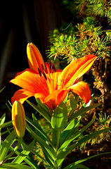 Lily2-0059 (Thomas Tolkien) Tags: flowers school copyright art sports tom digital garden photography photo education nikon thomas yorkshire d70s teacher hibiscus website creativecommons teaching tolkien northyorkshire jrr tuition potplant twitter robertbringhurst bringhurst thomastolkien tomtolkien httpwwwtomtolkiencom httpthomastolkienwordpresscom tolkienart notrelatedtojrrtolkien tolkienteacher tolkienteaching