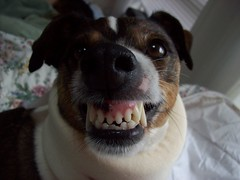 sparky smiling (taylor evans) Tags: old dog smiling happy weird scary ugly stupid sparky