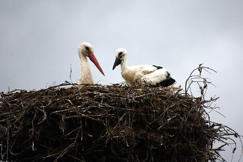 Stork with baby / gandras su gandriuku