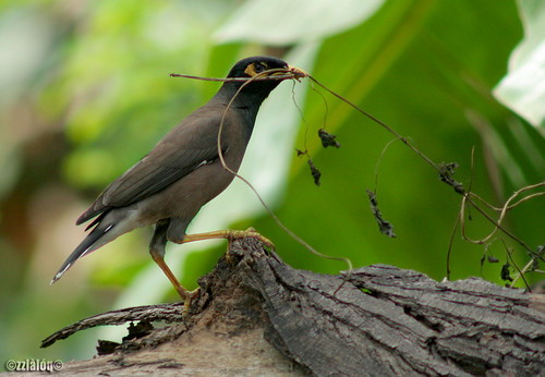 Common Myna fetching nesting material