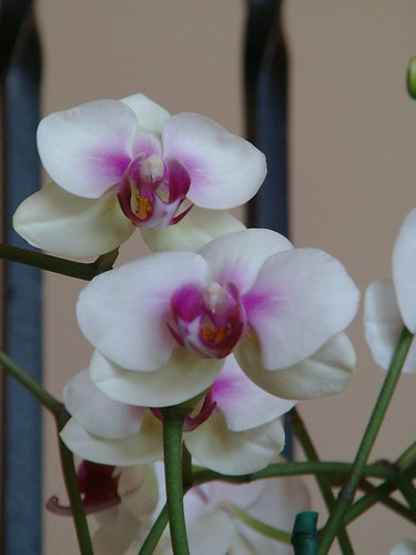 my orchids are in bloom
