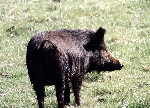 wild animals pictures with names. Wild pig by Brian Murphy,