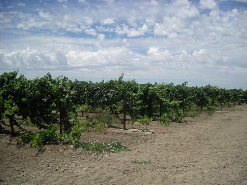 Clarksburg Vines