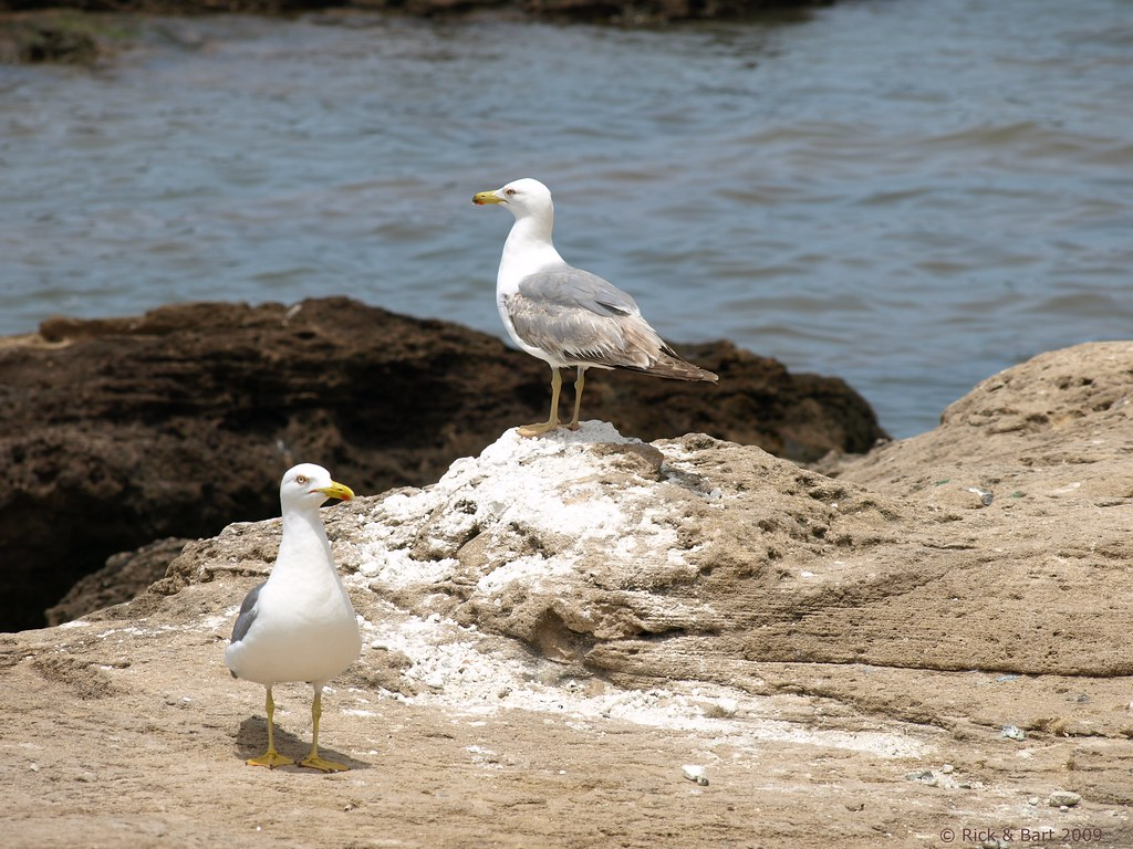Seagulls @ Essaouira / ???????