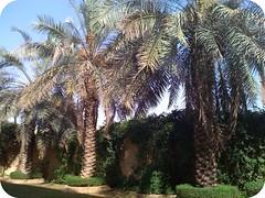 (NOOR N.) Tags: palm dates