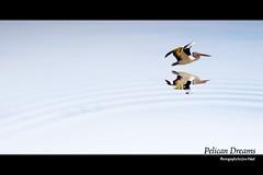 Pelican Dreams (modezero) Tags: photoshop canon australia roadtrip pelican wicked redfield 24105mmf4lisusm xti 400d pkchallenge dragondaggerphoto