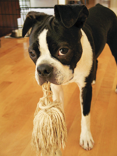 Puppy with rope toy