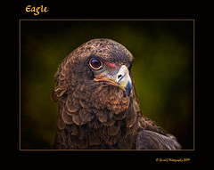 0197 Eagle (QuimG) Tags: naturaleza nature spain europe eagle favorites natura textures ave aguila setembre valncia pasvalenci thegoldengallery bioparc abigfave specialtouch majesticnature citrit theunforgettablepictures diamondstars quimg betterthangood multimegashot alemdagqualityonlyclub photoshopcreativo thedavincitouch trobadaterresdevalncia thelightpainterssociety mesart thecubeexcellencygallery tumiqualityphotography quimgranell joaquimgranell mundosmagnficos worldmesartmasters jotbesgroup flickartist 4msphotographicdream natureflicks mesarthonorablemembersgroup richardsfloraandfauna 2mmsroyalstation animals gettyimagesspainq1