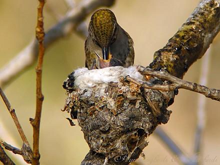 Anna's Hummingbird nest baby f02091-4