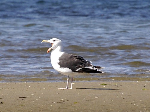 Gull Laughing