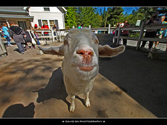 Sheep at Oregon Zoo (David Gn Photography) Tags: portland sheep pdx pettingzoo oregonzoo nothdr sigma1020mmf35exdchsm canoneosrebelt1i