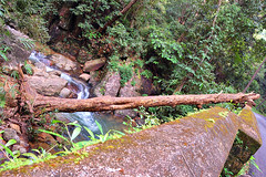 Uprooted Tree - Ponmudi (thejasp) Tags: travel india green colors forest stream kerala indien uprootedtree fallentree uprooted trivandrum southindia rivulet keralam southasia  ponmudi   indiatravel   thiruvananthapuram indiatourism   sdindien  zuidindia         goldenvallery    suurindland