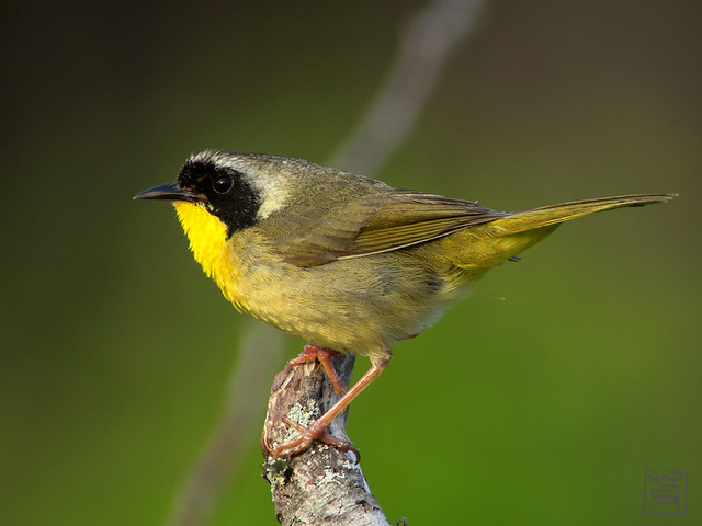 Common Yellowthroat in the evening light, May 2011