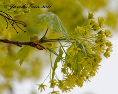 Spring Growth of a Norway Maple (20) - Day 43 (SewerDoc (2 million views)) Tags: wild plant ontario canada flower macro tree green nature leaves yellow closeup fruit leaf spring maple flora branch wildlife seeds pistil foliage growth acer stamen twig bud deciduous rebirth botany sprout platanoides sprouting morphogenesis corymbs sewerdoc norwaymaple acerplatanoides jaredfein mygearandme norwegianmaple wingedseeds
