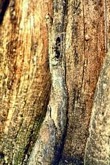 Northern Catalpa (Catalpa speciosa), Bark [7] (In The Mind Of Nature (Plantae)) Tags: catalpaspeciosa northerncatalpa hardycatalpa westerncatalpa cigartree catawbatree plant tree deciduoustree minneapolisminnesota minnesota midwesternunitedstatesnativetreespecies midwesternunitedstatesnativeplantspecies northamericannativeplantspecies northamericannativetree inthemindofnature nature permaculture arboriculture catalpabark bark hardwood ornamentaltree