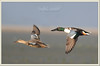 Northern Shoveler (Anas clypeata) (Z.Faisal) Tags: bird feathers hans aves char northern anas northernshoveler shoveler coxs avian bipedal bangla faisal panta desh zamir anasclypeata coxsbazar clypeata mukhi pakhi endothermic sonadia zamiruddin zamiruddinfaisal zfaisal uttureykhuntehash utturey khuntehash pantamukhi khuntehans khunte beakbangladesh tajiakatarchar tajiakatar