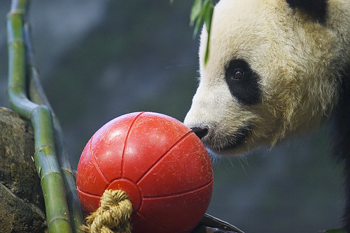 Tai Shan - the baby panda in the National Zoo - approaches a red ball in his exhibit.