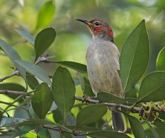 Scarlet Honeyeater (maureen_g) Tags: bird wildlife australia nsw honeyeater hunter centralcoast galgabbapoint