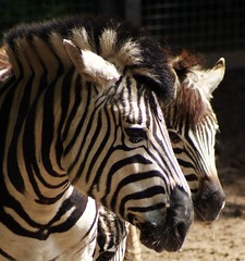 Stripes on the double (Cajaflez) Tags: animal zoo stripes zebra strepen dierentuin ouwehand rhene bej mywinners abigfave theunforgettablepictures platinumheartaward flickrestrellas quarzoespecial saariysqualitypictures infinitexposure