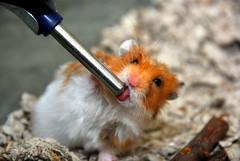 Frazz Drinking (Chunker.) Tags: pet hamster frazz syrianhamster