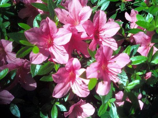 Flowering Bush (Click to enlarge)