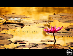 Glow in the golden pond (ayashok photography) Tags: morning india temple golden pond flora nikon hill lilly tamilnadu hosur nikonstunninggallery nikond40 ayashok nikor55200mm