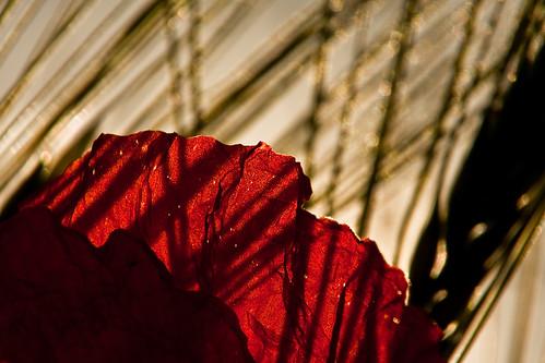 Mohnblume Sonnenuntergang Schatten Weizen