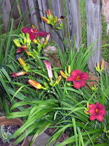 Day lily explosion