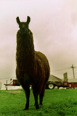 Turtleneck Neck (Zabowski) Tags: newjersey farm llama anima whitetownship