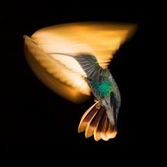 """ Ray of Light "" (Alfredo11) Tags: lighting light naturaleza motion bird luz nature mexico fly flash flight movimiento ave alfredo pajaro beijaflor iluminacion vuelo colibri volar humingbird picaflor nikonsb800 sekonic pocketwizard nikoncreativelightingsystem nikon80400mm nikond3 nikonsb900"