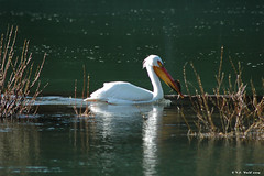 White pelican on the Snake River (Cattleman's Bridge, back of Oxbow Bend) (V. C. Wald) Tags: snakeriver whitepelican grandtetonnationalpark oxbowbend