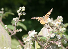 Battered butterflies (ninimakes) Tags: butterfly paintedlady blackberrybushes