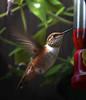 ...the hummingbirds are back... (axiepics) Tags: bird nature birds flying interestingness hummingbird feeding wildlife beak feathers feeder explore exploreinterestingness nectar hummingbirds interestingness20 explored i500 explore20 15challengeswinner duelwinner gameswinner duel212mostrecentshot explore20june25 highestposition20onthursdayjune252009 ©copyrightalexskellyallrightsreserved