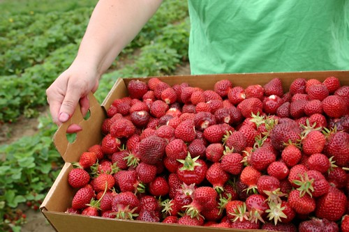 Box of freshly picked strawberries on Sauvie Island
