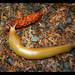 King Harvey, banana slug, near Oceanside, Oregon