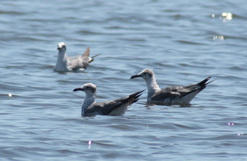 Laughing Gulls - 5/29/2009