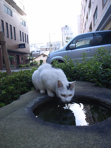 A cat drinks water