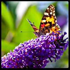 * (Michaela Rother) Tags: summer sunlight macro beauty butterfly insect bokeh frankfurt 90mm 2009 f28 tamaron