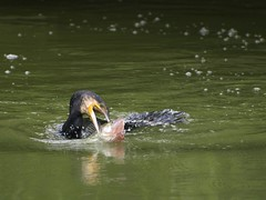 The Wrestler (Marrrcelll) Tags: fish fight backyard aalscholver greatcormorant phalacrocoraxcarbo baars marrrcelll