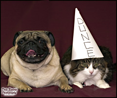 Dog VS Cat (whatUthinkin) Tags: dog pet cat interestingness dressup pug explore bubba dunce catsvsdogs duncecap explored whoissmarter dalebarlowphotography dogsvscat puppyvskitten