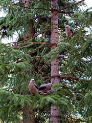 Birds at Lake Moraine Lodge (fermicat) Tags: lake canada mountains tree nature birds rockies nationalpark evergreen banff spruce moraine canadianrockies lakemoraine