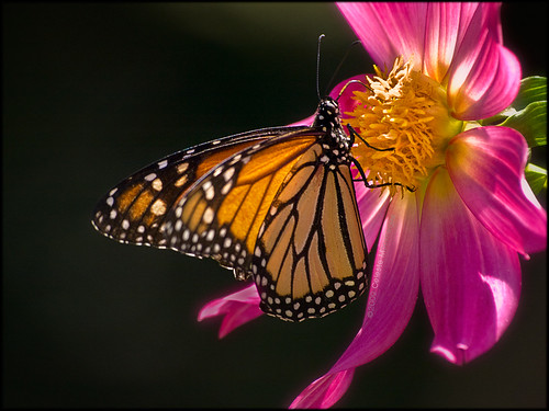 monarch sipping dahlia nectar (explored)